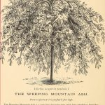 The Weeping Mountain Ash