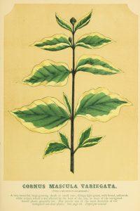 Cornus Mascula Variegata