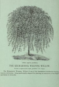 The Killmarnock Weeping Willow