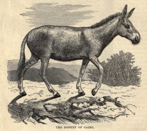 The Donkey of Cairo