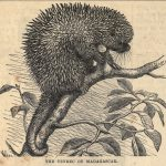 The Tenrec of Madagascar